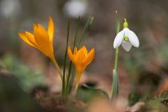 Açafrão emergente no jardim da mola Foto de Stock Royalty Free