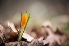 Açafrão emergente no jardim da mola Imagens de Stock Royalty Free