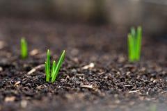 Açafrão emergente no jardim da mola Imagem de Stock Royalty Free