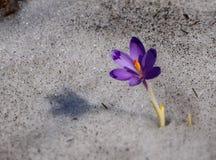 Açafrão - flor azul de montanhas Carpathian dentro Fotos de Stock Royalty Free