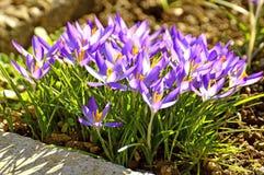Açafrão, flor da mola Fotografia de Stock Royalty Free