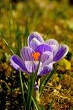 Açafrão, flor da mola Fotos de Stock