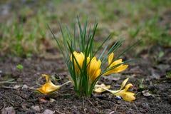 Açafrão (flor da mola) Imagem de Stock