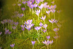 Açafrão, flor da mola Imagens de Stock Royalty Free