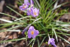 açafrão Flor da mola Imagem de Stock Royalty Free