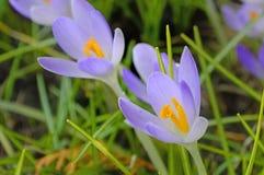 Açafrão, flor da mola em Alemanha Imagens de Stock Royalty Free