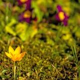 Açafrão, flor da mola em Alemanha Imagens de Stock