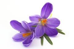 Açafrão - flores da mola Imagem de Stock