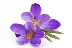 Açafrão - flores da mola Imagens de Stock