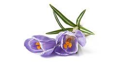 Açafrão - flores da mola Imagens de Stock Royalty Free
