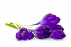 Açafrão - flores da mola Fotografia de Stock