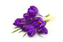 Açafrão - flores da mola Fotos de Stock