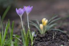 Açafrão, flores da mola Fotos de Stock