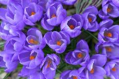 Açafrão - flores da mola Imagem de Stock Royalty Free