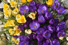 Açafrão - flores da mola Foto de Stock Royalty Free