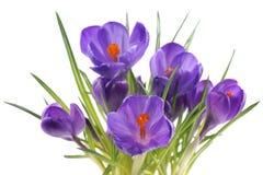 Açafrão, flores em um fundo branco Imagens de Stock