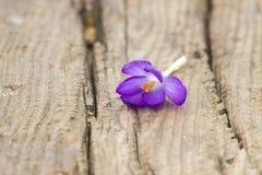 Açafrão - flores frescas da mola Foto de Stock