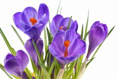 Açafrão, flores no fundo branco Imagens de Stock Royalty Free
