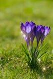 Açafrão, flores novas da mola Imagens de Stock
