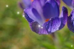 Açafrão, flores novas da mola Fotos de Stock Royalty Free