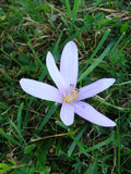 Açafrão florescido da mola na grama Fotos de Stock Royalty Free
