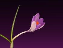 Açafrão - fundo da flor da mola Fotografia de Stock