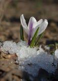 Açafrão heterogêneo na neve, Fotografia de Stock Royalty Free