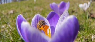 Açafrão Honey Bee Fotos de Stock