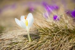 Açafrão Incredibly bonito do branco do albino Imagens de Stock