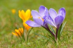Açafrão L do açafrão Açafrão na primavera Imagem de Stock Royalty Free