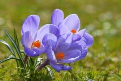 Açafrão L do açafrão , Açafrão na primavera Imagem de Stock
