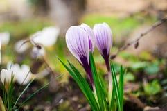 Açafrão lilás de florescência Fundo da flor da mola Fotografia de Stock