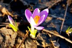 Açafrão lilás de florescência no jardim Fotografia de Stock Royalty Free
