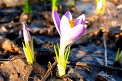 Açafrão lilás de florescência no jardim Imagens de Stock
