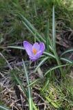 Açafrão lilás de florescência no parque na primavera Foto da natureza Imagens de Stock Royalty Free