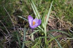 Açafrão lilás de florescência no parque na primavera Foto da natureza Foto de Stock