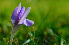 Açafrão lilás na mola Fotos de Stock