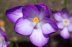 Açafrão lilás no canteiro de flores Fotografia de Stock
