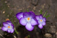 Açafrão lilás no canteiro de flores Imagem de Stock Royalty Free