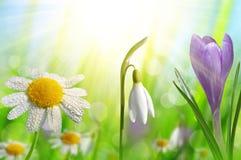 Açafrão, margarida e Snowdrop da flor da mola Imagens de Stock