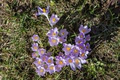 Açafrão, mensageiro bonito da primavera Imagem de Stock
