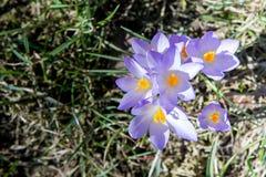 Açafrão, mensageiro bonito da primavera Imagens de Stock