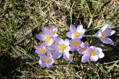 Açafrão, mensageiro bonito da primavera Fotos de Stock