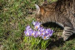 Açafrão, mensageiro bonito da primavera Fotografia de Stock
