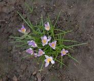 Açafrão, mensageiro bonito da primavera Imagens de Stock Royalty Free
