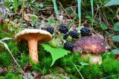 Açafrão Milkcap, cogumelo do Bolete do pinho e amoras-pretas Fotos de Stock Royalty Free