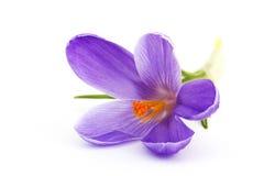 Açafrão - mola da flor f Imagens de Stock Royalty Free