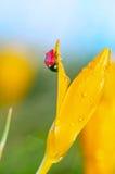 Açafrão molhado com joaninha Imagem de Stock