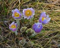 Açafrão na flor Fotos de Stock