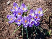 Açafrão na flor completa de cima de Foto de Stock Royalty Free